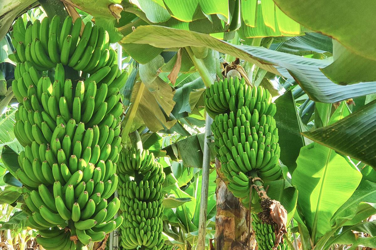 La Palma Banana fields