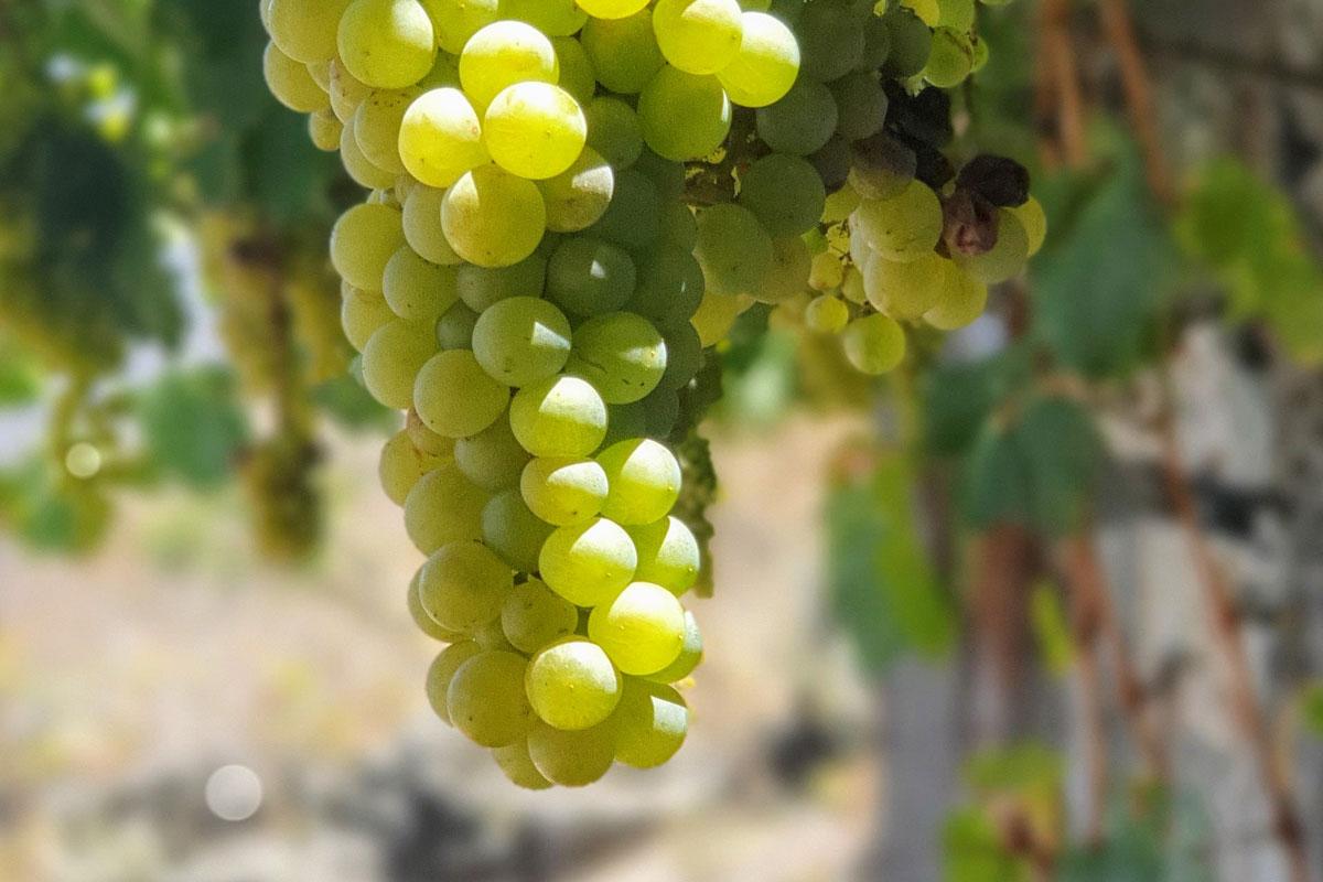 ElHierro_grape